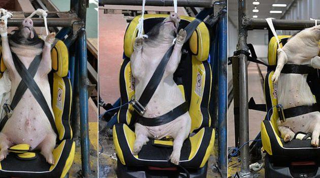 活猪 Crash Test ,中国研究被批做法残忍又无实际用途